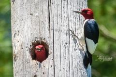 Red-Headed Woodpecker 8