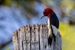 Red-Headed Woodpecker 7