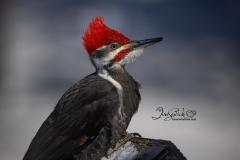 Pileated Woodpecker 2