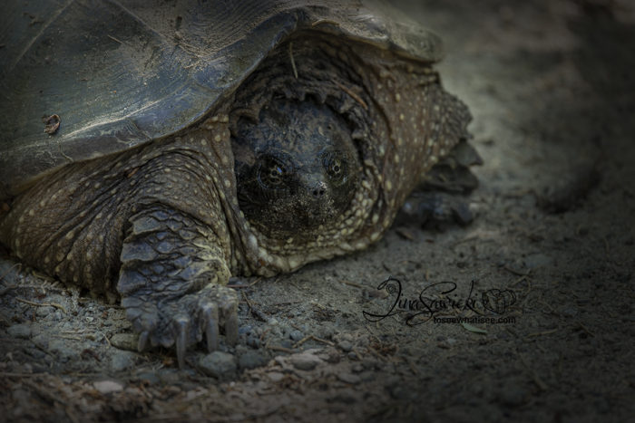 Snapping Turtle on Mizzy Trail