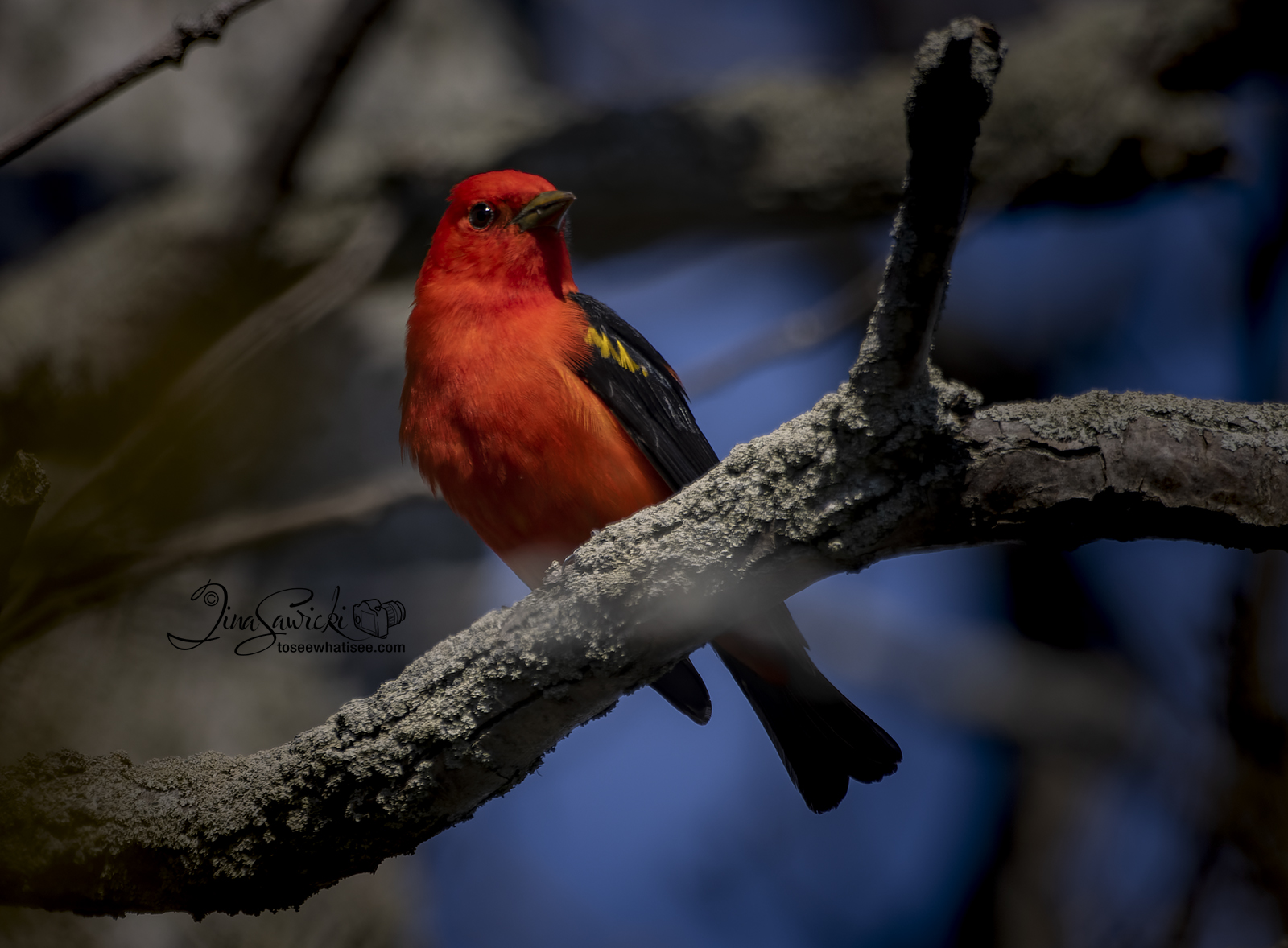 633A9285-perching-tanager