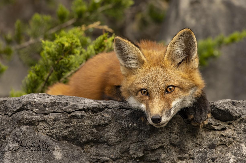 Red Fox Kit chilling